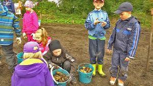 Taipalsaaren kirkonkylän koulun oppilaat nostavat perunaa pellosta