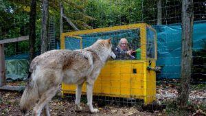Susi tuijottaa verkkoaidan takaa tutkijaa, joka on tarttumassa muovipurkkiin.