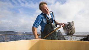 Pellinkiläiskalastaja Jörgen Kellgren nostaa haavilla kilohaileja nuotasta