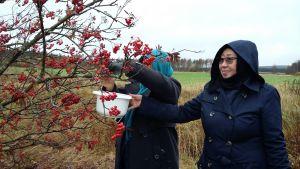 Afganistanilaiset naiset keräävät pihlajanmarjoja