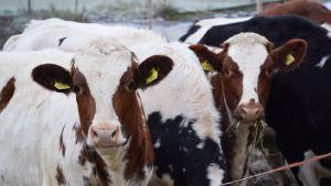 Lehmiä syömässä heinää pellolla.