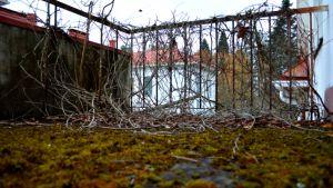 Käppyräisiä juuria ja sammalta Moision sairaalan parvekkeella.