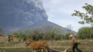 Maanviljelijä jatkoi työtään Agung-tulivuoren syöstessä tuhkaa Balilla 26. marraskuuta.