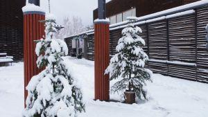 Joulukuuset Metsämuseo Luston pihalla.