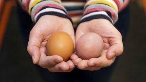 Kädet pitelevät kahta kananmunaa.