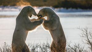 Avara luonto: Jääkarhun tarina