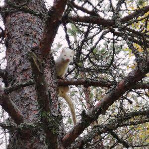 Valkoinen minkki puussa.