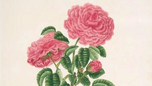Mary Lawrances Rosa centifolia, lika med Monstrous hundred leaved rose. 1799.