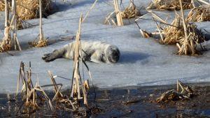 En sälkut ligger på isen. Det syns vass, solen skiner.