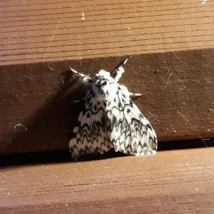 Kaj Blomberg undrar vad det är för fjäril han hittade på väggen. Den är ca 3,5 cm mellan vingspetsarna.