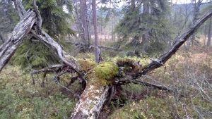 Suomen vanhimman puun luota löytynyt juurakko