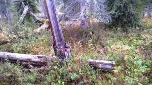 Kaatunut näytepuu Suomen vanhimman puun lähellä