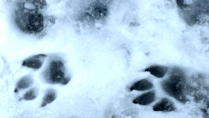 Vargspår i snö