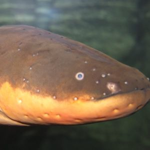 Elektriska ålen Raipe i Sea Life i Helsingfors
