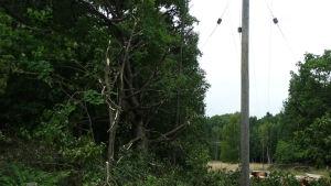 Träd som röjts av en röjningshelikopter på Älgsjölandet i Ingå.