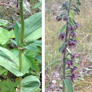 Åsa A Westerlund stötte i slutet av juli på en okänd blomma som var ca.70 cm hög. Kan det vara någon form av knipprot undrar hon.
