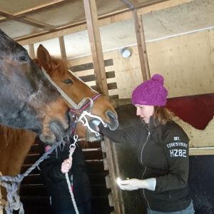 Eläinlääkärikandi hoitaa hevosen hampaita