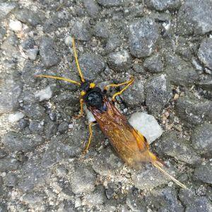 Håkan Manderbacka undrar vad detta är för en insekt. Den hittades på vattenytan i ett ämbar i Karleby.