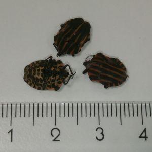 Evert Johansson hittade dessa baggar på persiljan och undrar vad det kan vara.