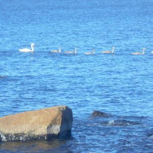Ett svanpar med fem gråa ungar. Hur snabbt ändrar de färg, undrar Bengt.