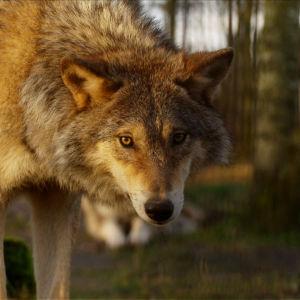 Varg som stryker runt i skogen.