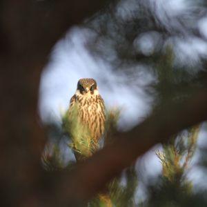Nuolihaukka puussa