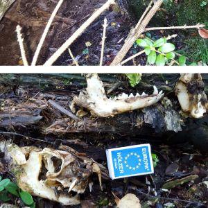 Dennis Kronqvist hittade tillsammans med pojken en plats med en massa kadaver. från bl.a rådjur, älg och något mindre rovdjur. Vem kan ha varit i farten?