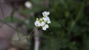 det vita ogräset backtrave i närbild