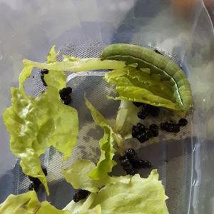 Sjuåriga Harry från Malax undrar vad detta är för en larv och om det går att ha en larv i ett terrarium under hela förloppet den går genom, från larv till puppa och till fjäril? Och varför har den bajsat så mycket under natten?