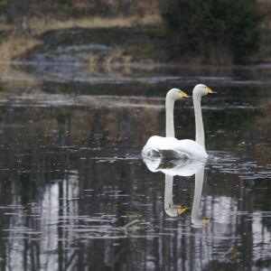 Ett par svanar på en sjö i mulet vårväder.