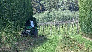 Traktor som skördar humle.