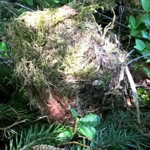 Kristiina hittade under en gran ett fågelbo med 10 cm diameter. Yttre sidan är av mossa och insida liknar pappersmassa. Vilken fågel gör ett sådant här bo?