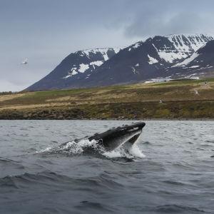 Ryhävalas hotkaisee kalaparven suuhunsa.