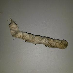 Camilla hittade denna 10 cm långa spillning på stugtaket. Vem är det som huserat i linfyllningen under takplåten?