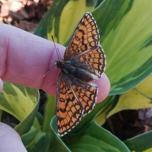 Diana från Kronoby hittade denna trötta fjäril på marken. Är det en sort av Pärlemorfjärilarna? Alla likadana arter har istället för rutor svarta prickar nästsista raden vid vingarnas spets.