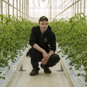 Jonathan Nordberg mitt bland tomatplantorna i växthuset.