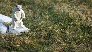 Lelujääkarhu katsoo nurmikkoa luminokareen päältä.
