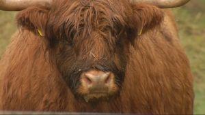 En ko av rasen Highland cattle.