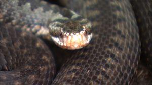 kyykäärme lähikuvassa