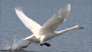 Laulujoutsen kiihdyttää lentoon vedenpinnalta.Joutsenen siivet ovat levittäytyneet lentoasentoon, toinen räpylä räyskäyttää vettä linnun juostessa vedenpinnalla.