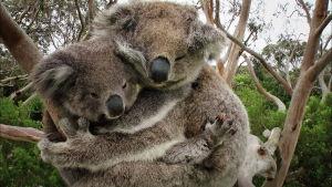 Koaloita