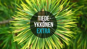 Tiedeykkönen Extra mainoskuva Puiden biologinen kello podcastille.
