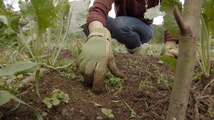 Lähikuva kasvimaasta, josta rikkaruohoja kitkee ihminen. Ihmisestä etualalla käsi, jossa on puutarhahansikas.