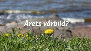 """Tussilago vid stranden med texten """"Årets vårbild?"""""""