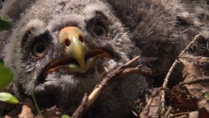 lapinpöllön poikanen 2 vko