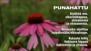 Punahattu-kukka