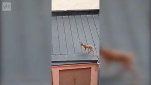 Ett hjortdjur på ett tak.