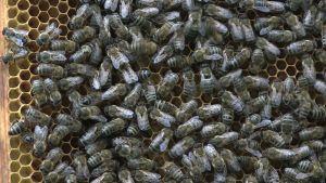När det är soligt och varmt är bina på gott humör.