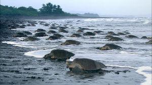 Kilpikonna on yleensä hitaaksi ja rauhalliseksi mielletty otus, mutta se onkin hyvin vaikuttava metsästäjä.