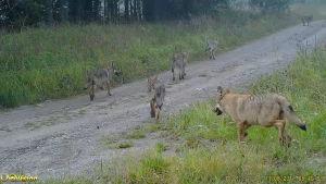 En bild från ett videoklipp där unga vargar syns springa på en skogsväg.